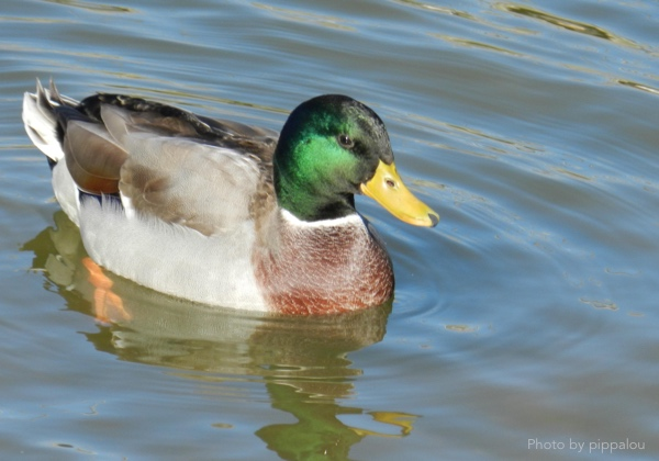 Image of a mallard or duck